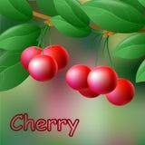 Cerezas rojas, jugosas, dulces en una rama para su diseño Vector Fotografía de archivo