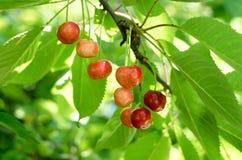 Cerezas rojas jugosas en el árbol imagen de archivo