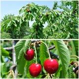Cerezas rojas maduras en la huerta; collage de la fruta Foto de archivo