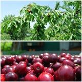 Cerezas rojas maduras en la huerta; collage de la fruta Fotos de archivo libres de regalías