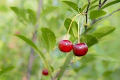 Cerezas rojas y dulces salvajes en una rama Imagenes de archivo