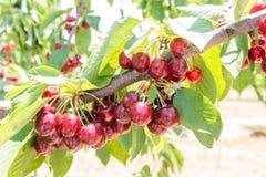 Cerezas rojas y frescas en el árbol Foto de archivo