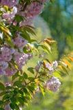 Cerezo color de rosa floreciente Fotografía de archivo libre de regalías
