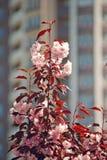 Cerezo color de rosa floreciente Imagen de archivo