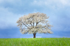 Cerezo de la primavera en flor en prado verde debajo del cielo azul Wallpaper en colores suaves, neutrales con el espacio para su Imagen de archivo libre de regalías
