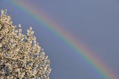 Cerezo del arco iris Imagen de archivo libre de regalías