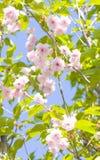 Cerezo del pájaro del rosa japonés Fotos de archivo