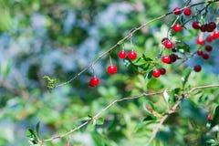 Cerezo en el jardín soleado Imagen de archivo libre de regalías