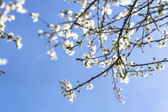 Cerezo en flor contra el cielo azul claro Fotos de archivo libres de regalías