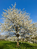 Cerezo en la floración Foto de archivo libre de regalías