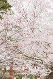 Cerezo en Nara durante festival de la flor de cerezo de la primavera imagen de archivo