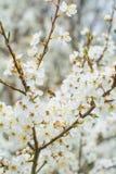 Cerezo floreciente Fotografía de archivo libre de regalías