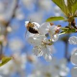 Cerezo floreciente blanco con la abeja de polinización Fotografía de archivo