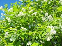 Cerezo floreciente del pájaro Naturaleza rusa Día de primavera del fondo natural fotos de archivo libres de regalías