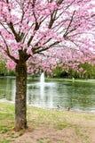 Cerezo japonés con las flores rosadas Imagen de archivo