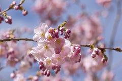 Cerezo japonés floreciente Fotos de archivo libres de regalías