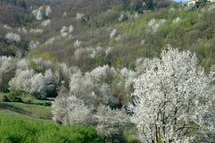 Cerezo, maderas, y colinas de Langhe Foto de archivo libre de regalías
