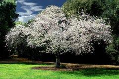Cerezo que florece en el parque Imagenes de archivo