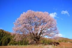 Cerezo y cielo azul Imagenes de archivo