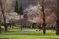 Cerezos durante tiempo de primavera Foto de archivo libre de regalías