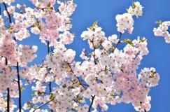 Cerezos en la plena floración Foto de archivo