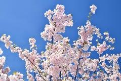Cerezos en la plena floración Fotos de archivo