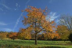 Cerezos en otoño, Hagen, Alemania imagen de archivo