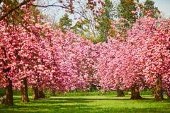 Cerezos hermosos con las flores rosadas en la plena floración fotografía de archivo