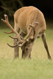 Cerf Images stock
