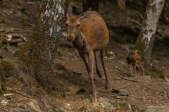 Cerf avec de jeunes cerfs communs Image libre de droits