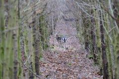 Cerf commun affriché dans la forêt Images stock
