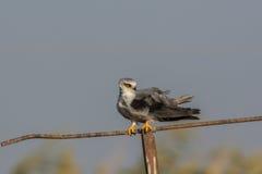 Cerf-volant à ailes par noir Image stock