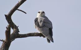 Cerf-volant à ailes par noir sur l'arbre Images libres de droits