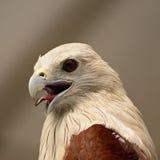 Cerf-volant de Brahminy Photo libre de droits