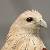 Cerf-volant de Brahminy Images libres de droits