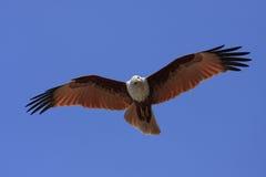 Cerf-volant de chasse Photos libres de droits