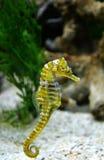 Cerf-volant de la mer Horse Photo stock