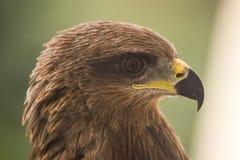 Cerf-volant - Eagle Image libre de droits