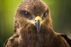 Cerf-volant - Eagle Photo stock