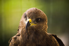 Cerf-volant - Eagle image stock