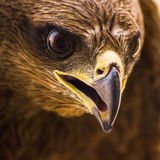 Cerf-volant - Eagle Images stock