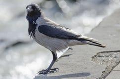 Cerf-volant gris Images stock
