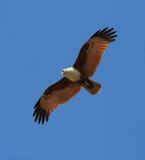 Cerf-volant II de chasse Image libre de droits