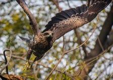 cerf-volant Noir-à oreilles lançant dans le vol Photographie stock libre de droits