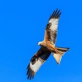 Cerf-volant rouge Photographie stock libre de droits