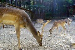 Cerfs communs à l'alimentation photos stock
