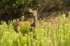 Cerfs communs à l'extérieur Photographie stock