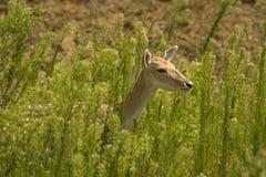 Cerfs communs à l'extérieur Image stock