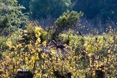 Cerfs communs à la lumière du soleil de soirée Photo stock