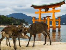 Cerfs communs à Miyajima Image libre de droits